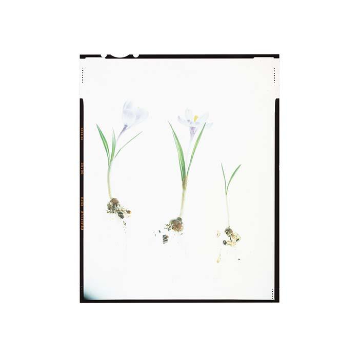 Crocus sativus HHS.jpg