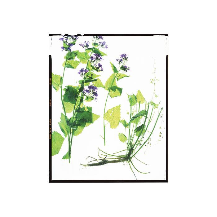 Lunaria annua HHS.jpg