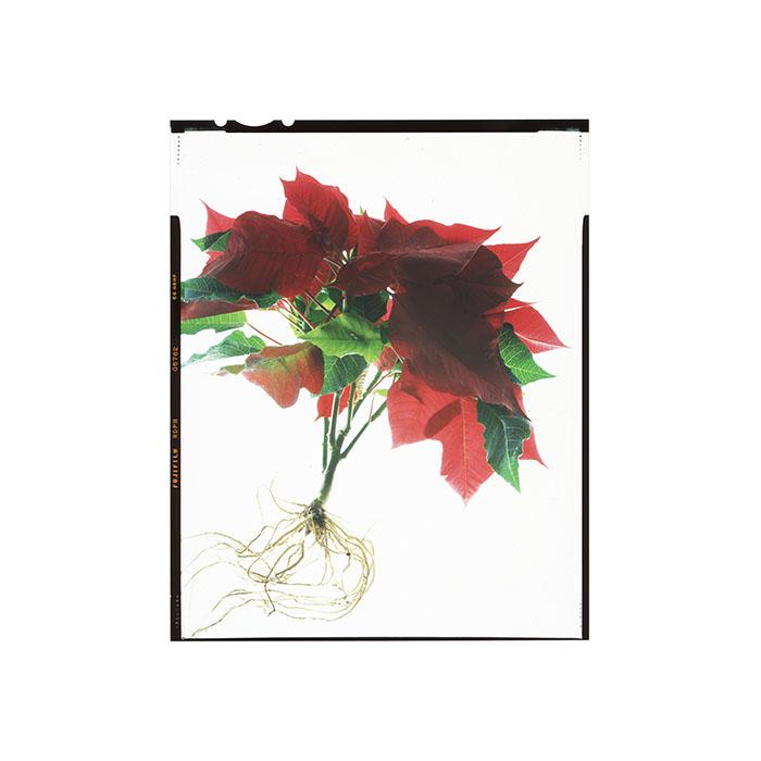 Euphorbia pulcherrima HHS.jpg