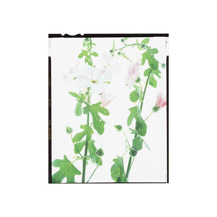 Alcea rosea HHS.jpg