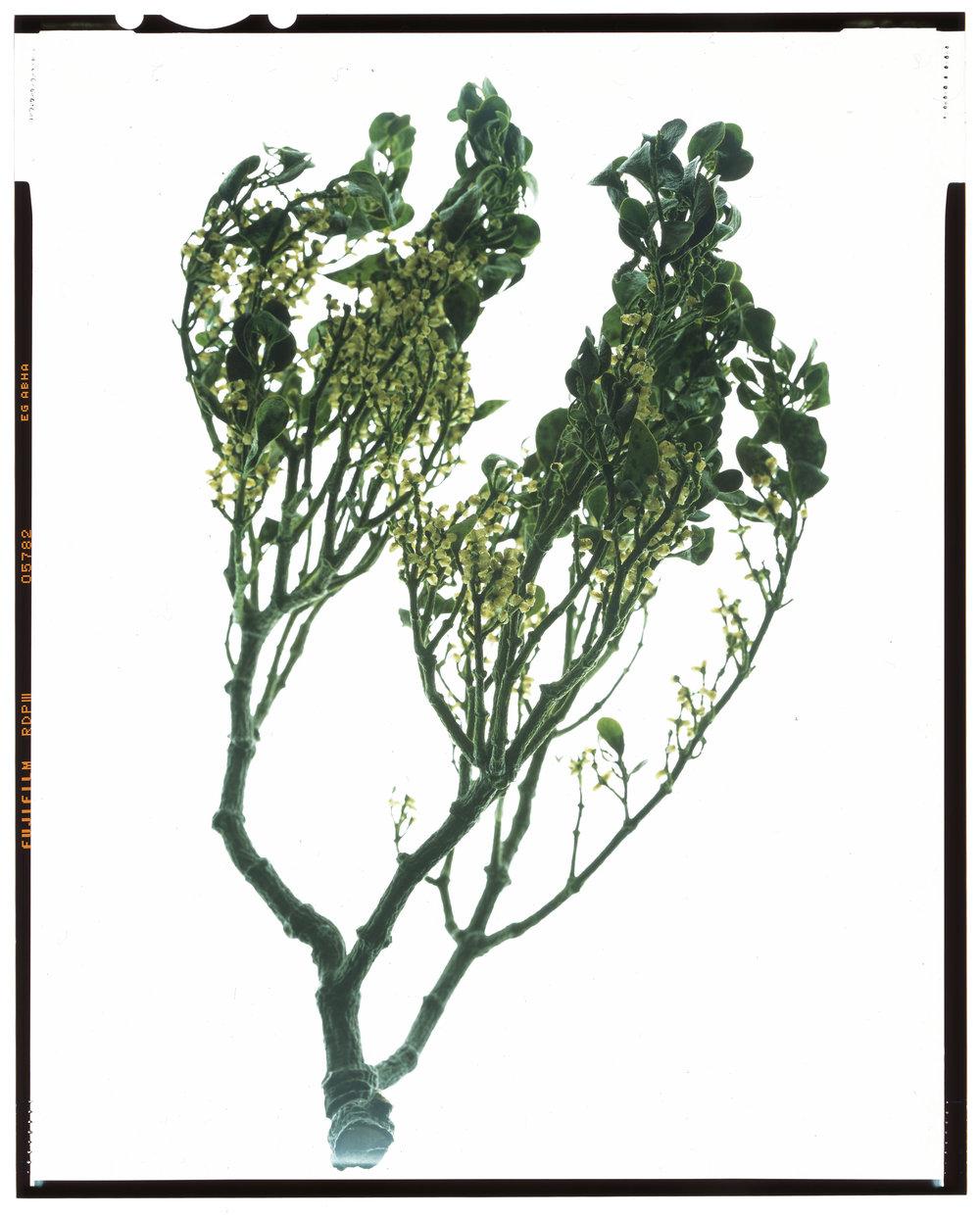 Phoradendron leucarpum, American mistletoe