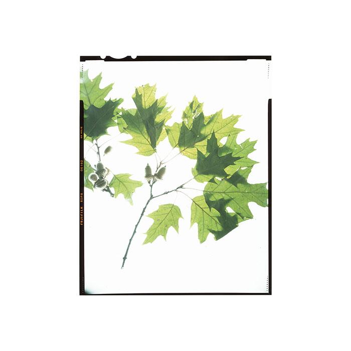 Quercus rubra Honour Hiers Stewart 2017.jpg