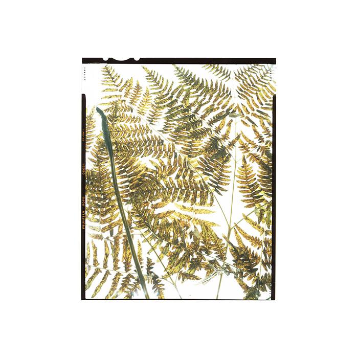 Pteridium aquilinum HHS.jpg
