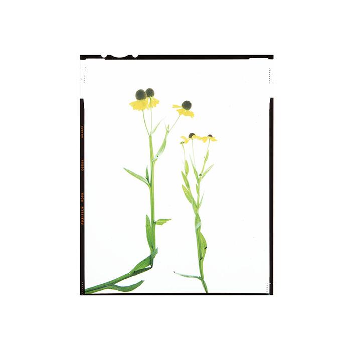 Helenium tenuifolium Honour Hiers Stewart 2019.jpg