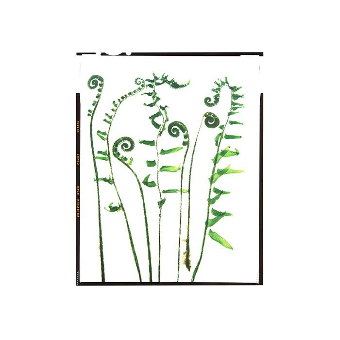 Polystichum acrostichoides Honour Hiers Stewart 2019.jpg