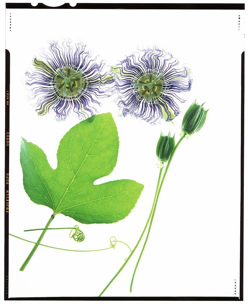 """Passiflora incarnata """"passionflower"""""""