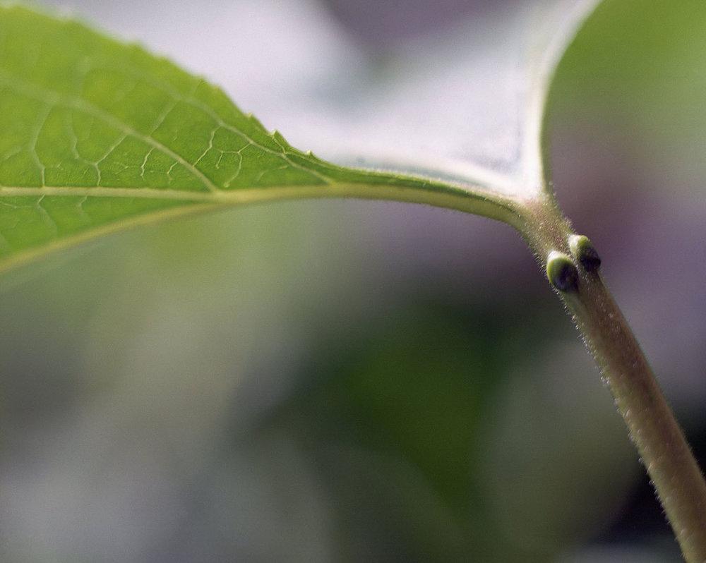 1 Honour Stewart Passiflora incarnata leaf stem.jpg