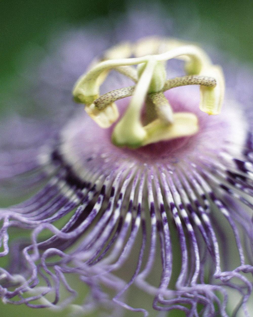 4 Honour Stewart Passiflora incarnata flower phase vertical.jpg