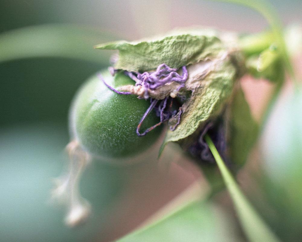 6 Honour Stewart Passiflora incarnata fruit phase.jpg