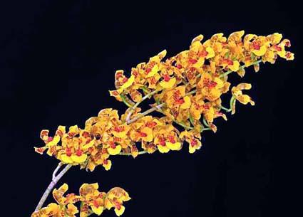 "Oncidium gutfreundianum ""Gigi' CHM/AOS"
