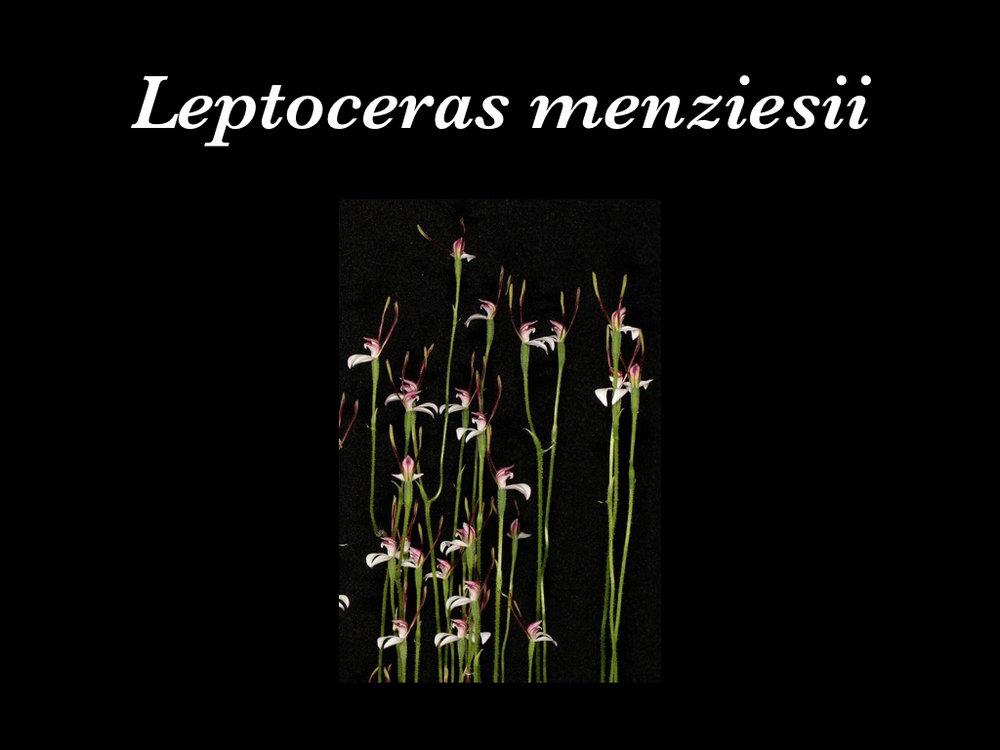 Leptoceras.001.jpeg