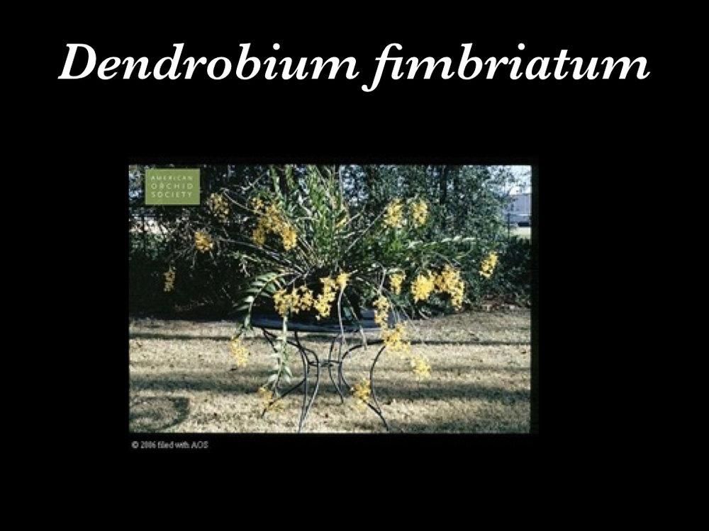 Dendrobium.001.jpeg