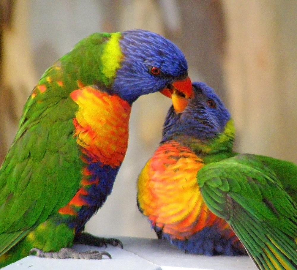 Rainbow Lorikeets 5.jpg