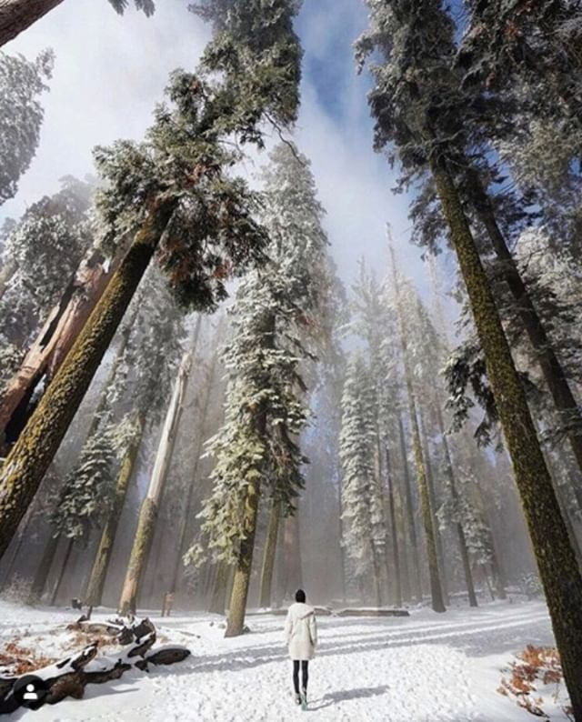 Sequoia National Park.  Photo by @alexgoldman. #trees #nationalpark #sequoianationalpark #winter