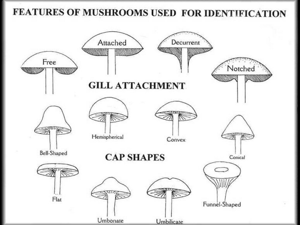 Features to ID mushrooms, gill attachments and cap shapes  by George Barron
