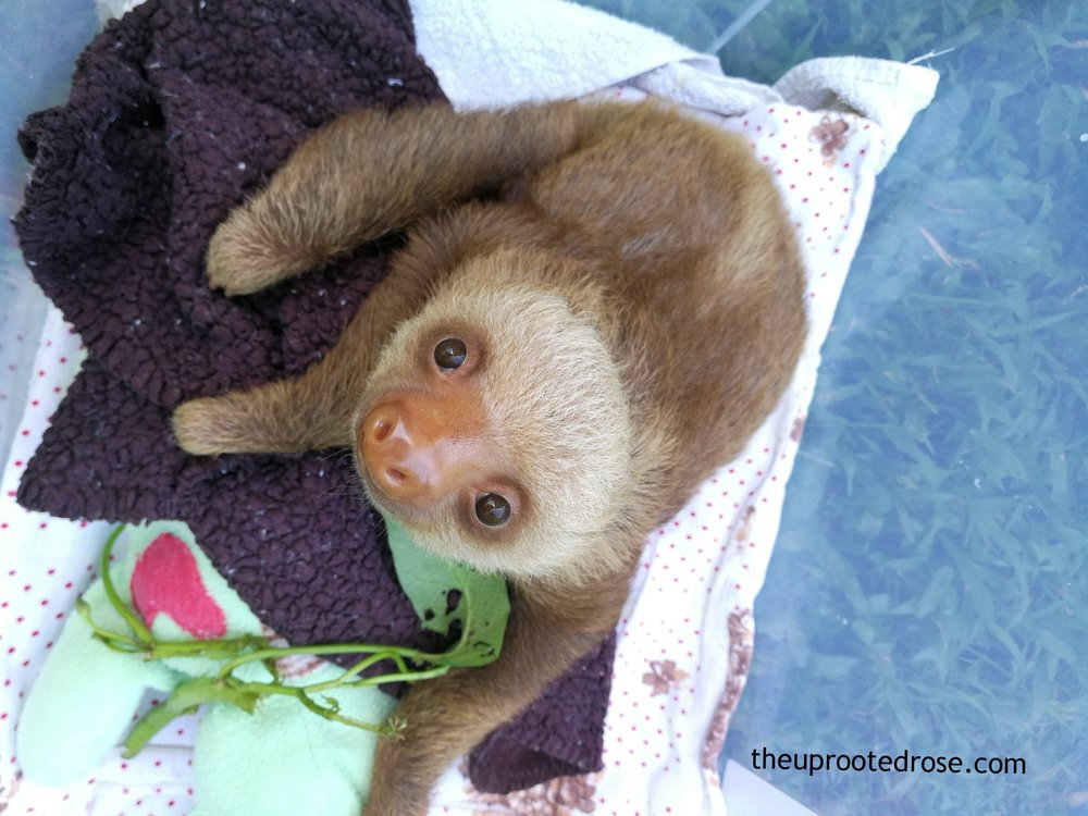 If you've already fallen in love with these baby sloths then it's time to plan your trip to the Sloth Sanctuary of Costa Rica.