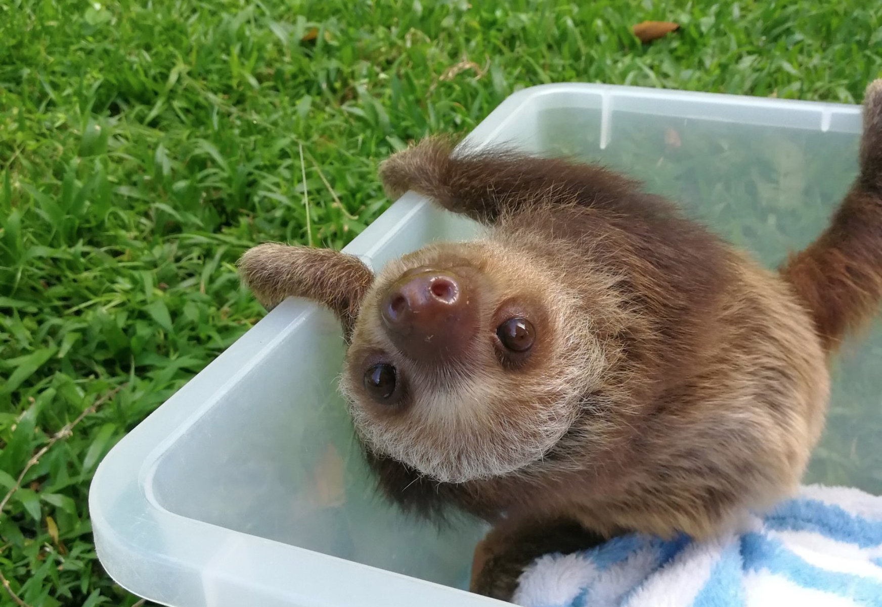 Why This Precious Baby Sloth Thinks a Teddy Bear Is His Mother Will Make You Sniffle