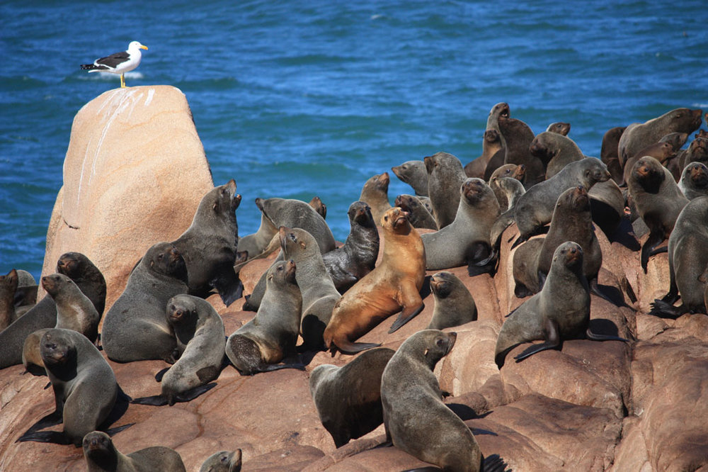sea lion colony cabo polonio uruguay south america sea gull nature