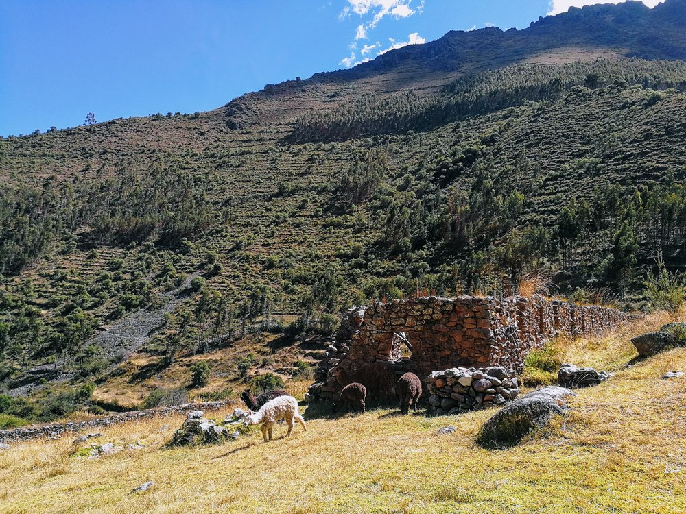 Llamas belonging to the groundskeeper grazing peacefully among the ruins at Pumamarca.