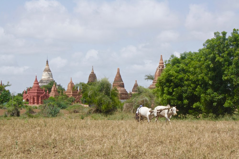 sowing the field by ox cart in Bagan Myanmar. Bagan is famous for its thousands of ancient pagodas.
