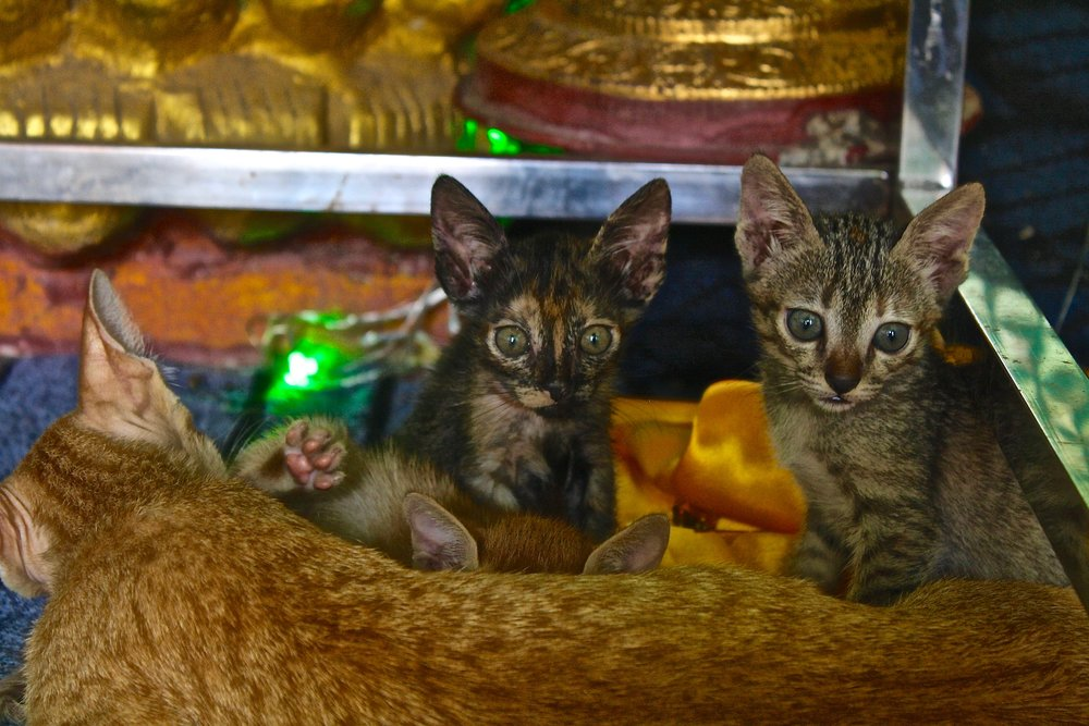 A mother cat nursing her kittens in a temple in Myanmar. Travel photography.