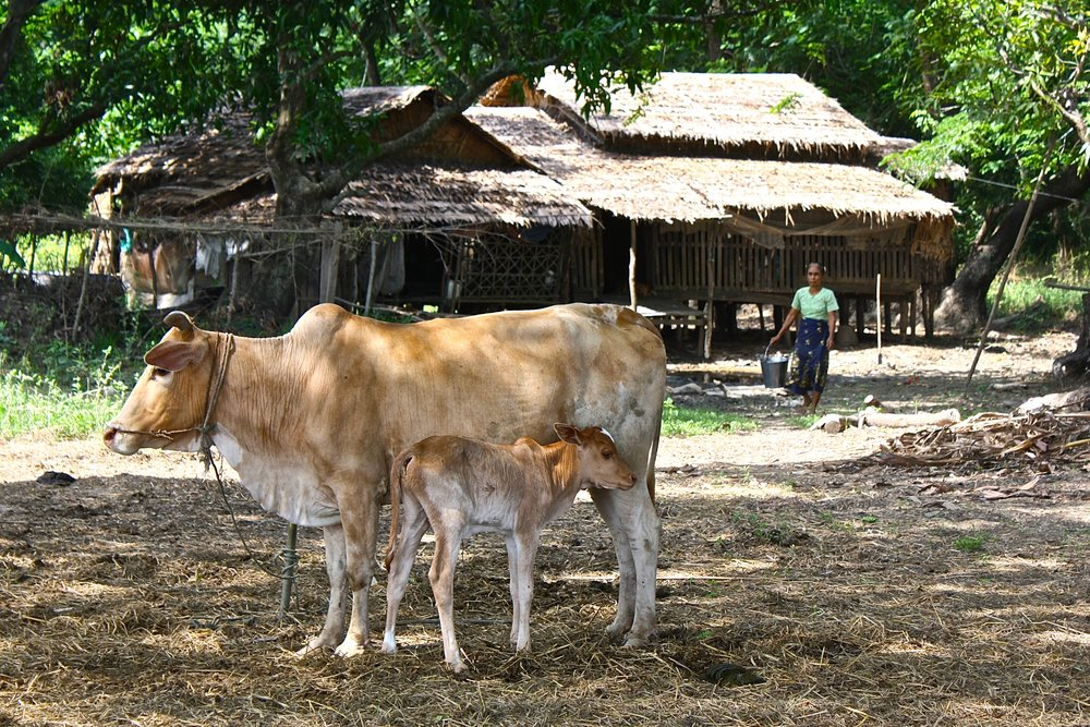 Motherhood is beautiful thing. A calf nurses on her mother on a hot day in central Myanmar.