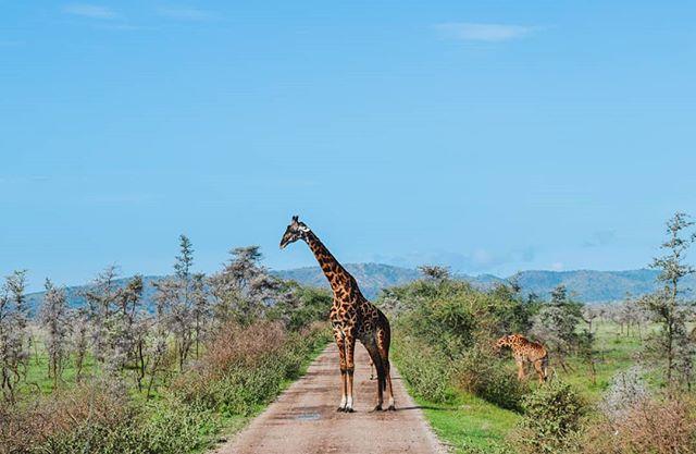 This is what rush hour looks like in the Serengeti 😂 happy friday & may your commute home be as stress free as mine🚗 . . . . . . . . . . . . . . #giraffe #serengeti #serengetinationalpark #natgeo #giraffes #natgeoyourshot #wildlifephotography #wildlifeonearth #nature_seekers #naturelover #natureisawesome #beautifulplaces #departedoutdoors #exploremore #tanzania🇹🇿 #natgeohub #natgeoadventure #wildlifeaddicts #loveearth #lovenature #visitafrica #travelingtheworld #africatrip #safari #traveldiaries #adventuretravel #adventureanywhere #explorenature #wanderfolk