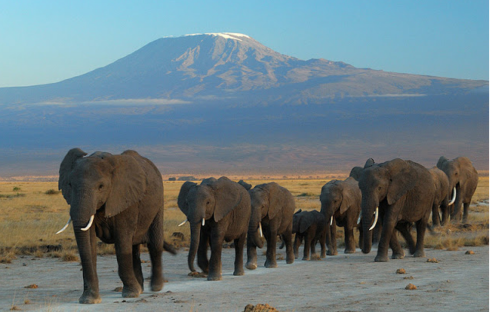 Elephants migrating in front of Africa's tallest mountain, Mount Kilimanjaro. For more on responsible travel and tourism in Tanzania, read our blog.