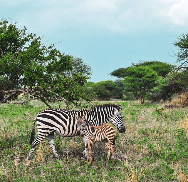 👋 hi there, mini me 🤗 pro of visiting Serengeti National Park in the rainy season = BABY ANIMALS EVERYWHEREEEE . . . . . . . . . . . . . . . . #zebra #zebras #babyanimals #babyzebra #serengeti #serengetinationalpark #zebrastrong #loveanimals #wildlife_shots #wildlifelovers #wildlifeohotography #protectnature #safari #Tanzania #tanzania🇹🇿 #visitafrica #africatrip #africatravel #nature_seekers #wildlifeonearth #ecotravel #ecotourism #nationalparks #hiking_daily #hiking🌲 #travelingpost #globetrotter #explorewithme #explorewildly