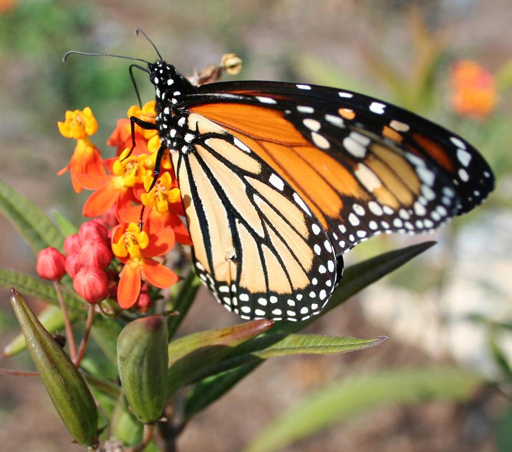 CMBG-butterfly_on_Asclepias_curassavica_butterfly_bush_BFreeman.jpg