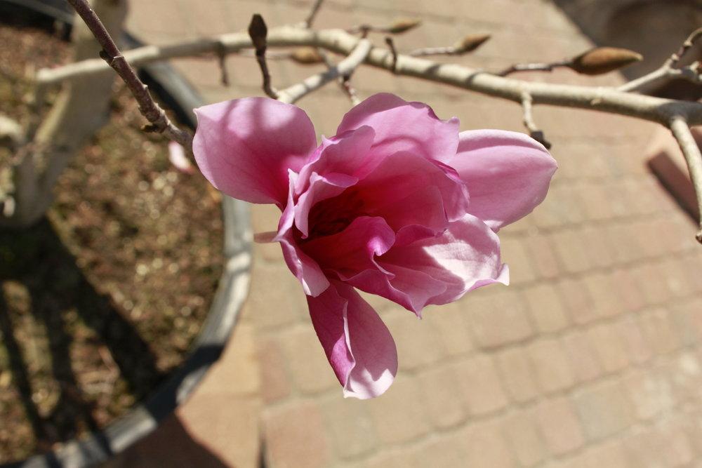 Japanes Magnolia