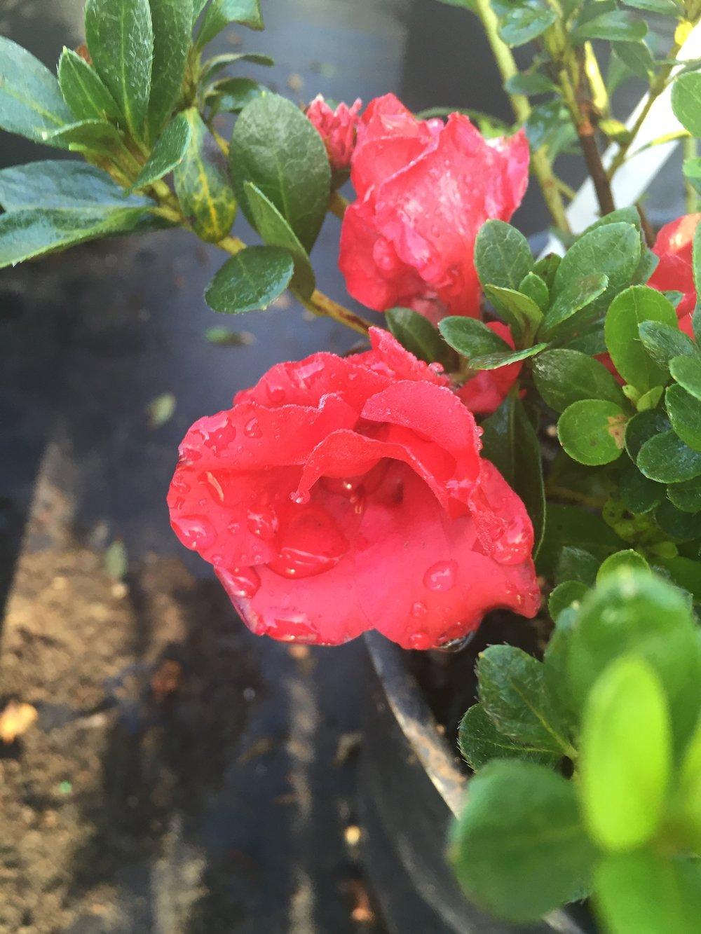 Red Ruffle Azalea