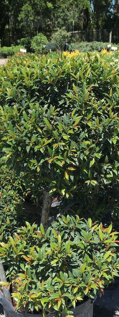 Eugenia Topiary
