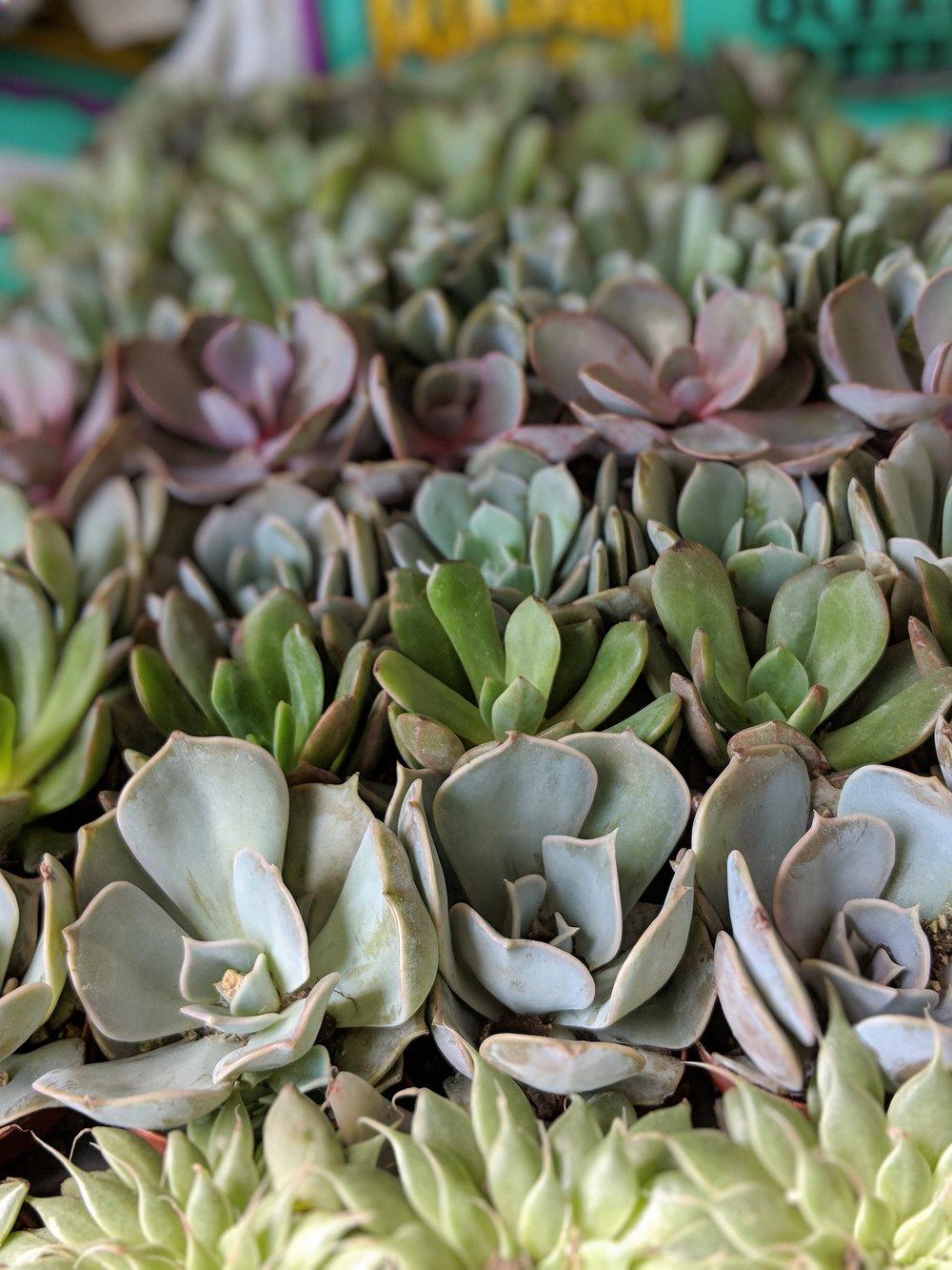 succulents (1).jpg