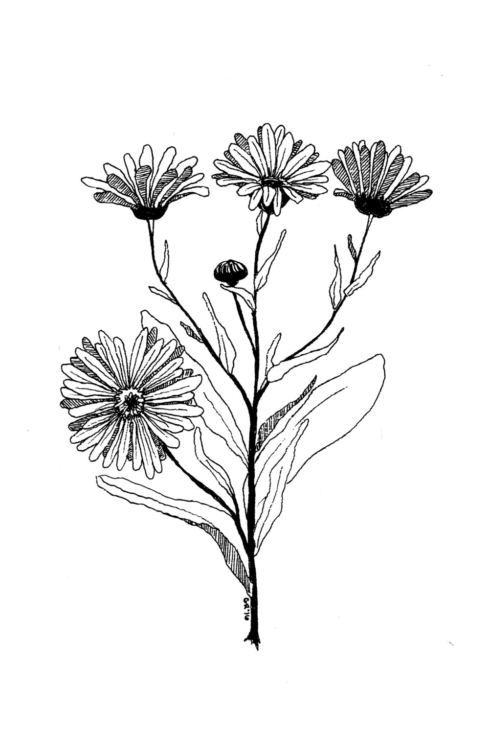 Calendula // For Germinate Cultivate zine by Homestead Apothecary // India ink