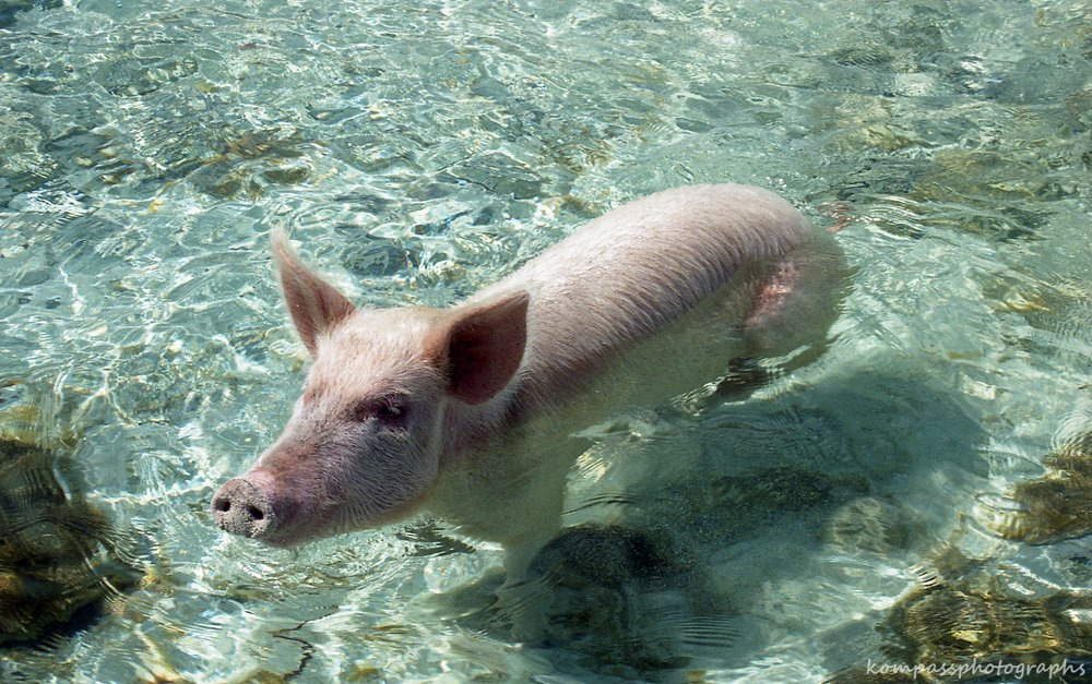 swimmingpigs-2.jpg