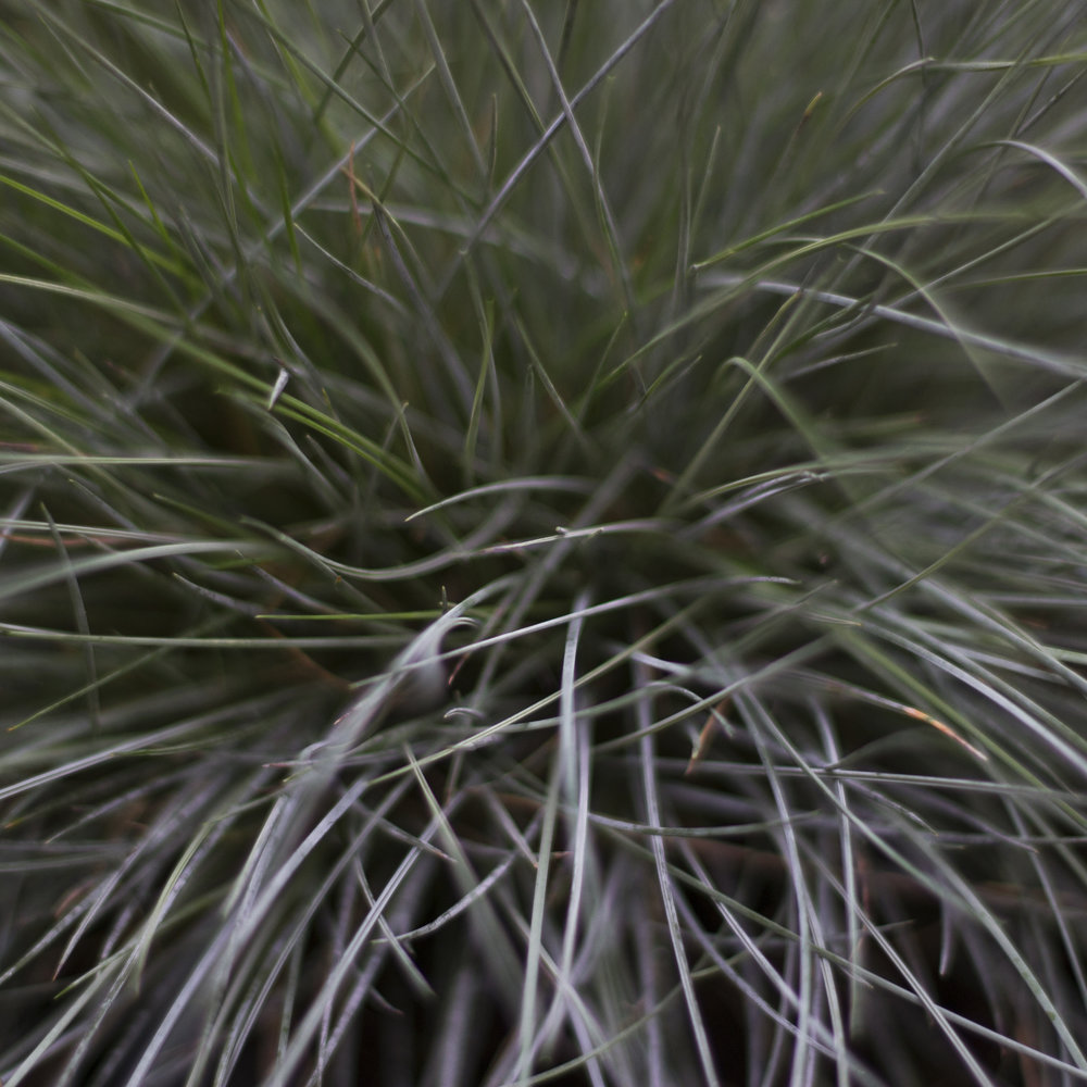 Silver grass.jpg