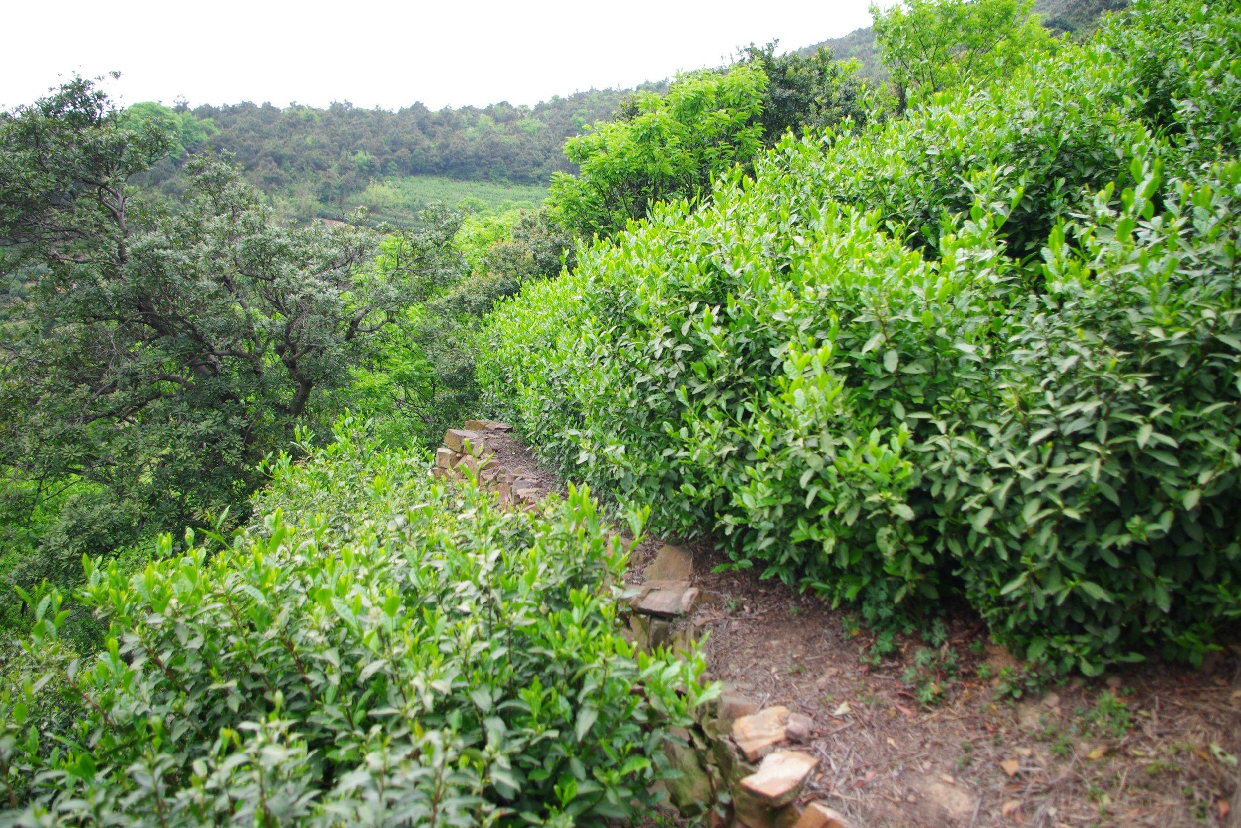 Bi Luo Chun bushes