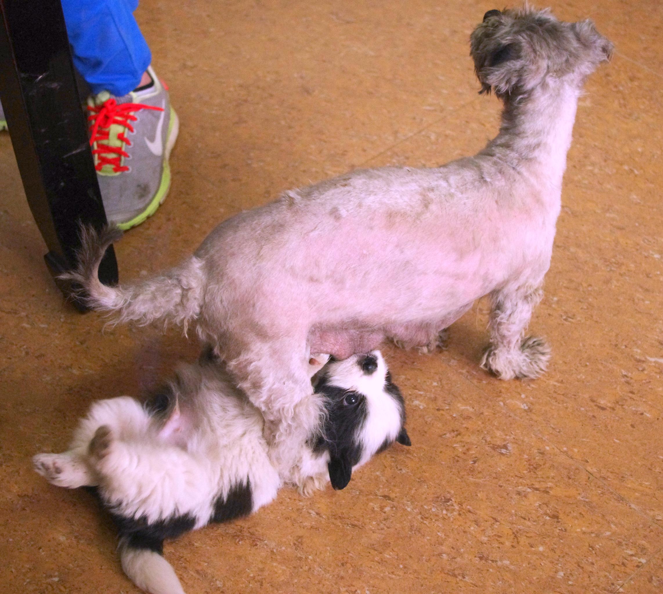 dog breastfeeding