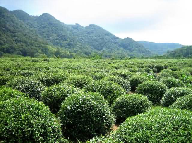 tea_plantation