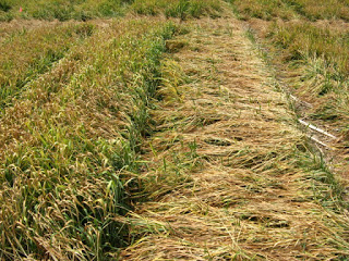 Figure 4. Damage to wheat stands several weeks after the 2007 spring freeze event. Photo: Bill Bruening.