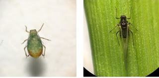 Figure 1. Pictures of the bird cherry oat aphid and  a winged English grain aphid found in wheat fields in February 2017. (Photo credits Yaziri Gonzales).