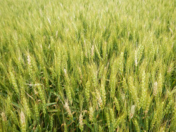 "Figure 2. Symptoms of Fusarium head blight (""scab"") of wheat (Photo: Carl Bradley, UK)"
