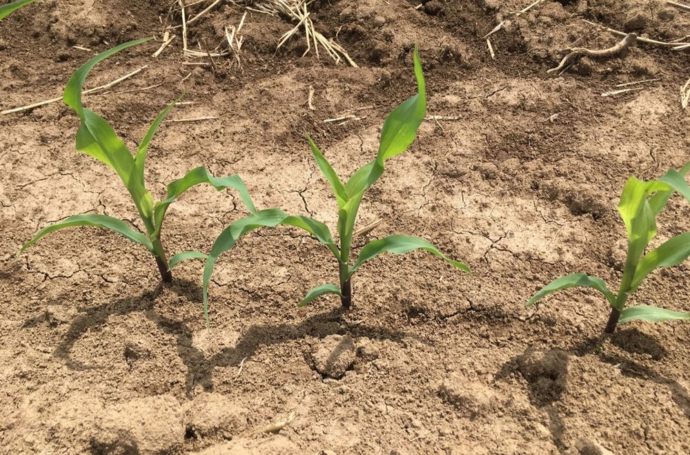 Corn May 23, 2017, Fayette County, KY, Corn at V3; 100 lb N/A applied at V1
