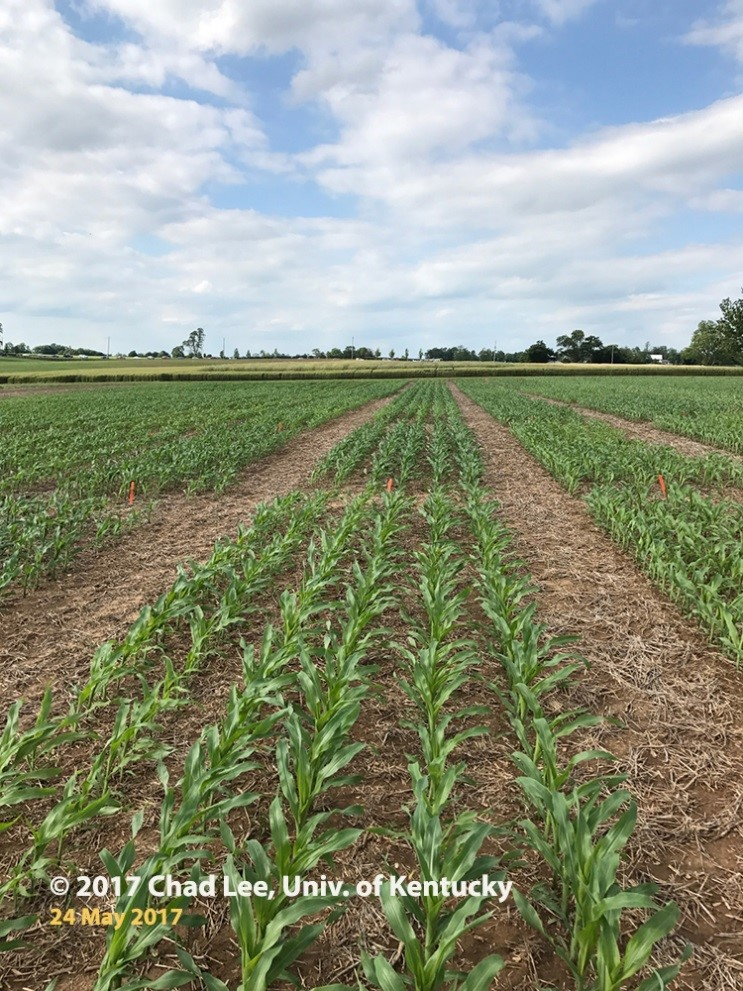 Figure 2. One corn hybrid with greener plots of corn where sulfur fertilizer was applied. Image taken May 24, 2017.