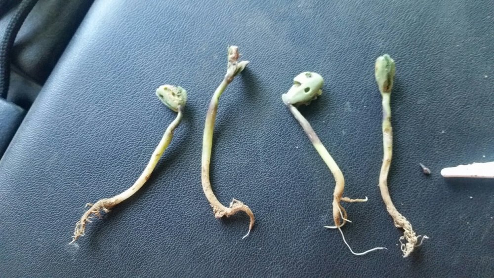 Figure 4. Soybean cotyledons damaged by slugs. The plant second from left most likely will not survive (if feeding stopped and had the plant remained in the field). The other three plants likely would have survived. Image by farmer, Steve Carver.