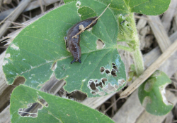 Figure 2. Feeding damage from slugs on soybean seedlings (Photo: Raul Villanueva, UK).