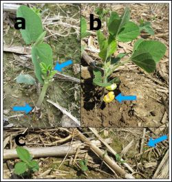 Figure 3. Different types of damage caused by slugs in soybean fields. (a) Arrows indicate complete detachment of cotyledon and cut tip, (b) rasping of cotyledonal leaves, and (c) different degrees of defoliation in contiguous plants, including plants without any foliage (Photos: Raul Villanueva, UK)