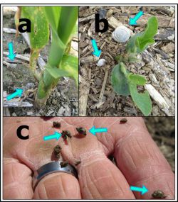 Figure 5. Snails may also cause damage in soybean fields. There are several species that can easily blend in with the ground, as shown in these pictures (Photos: Raul Villanueva).