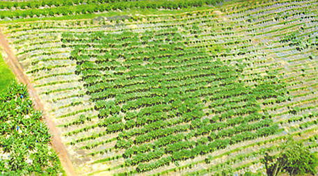 Aerial view of a field trial showing virus-resistant papaya growing well while the surrounding susceptible papaya is severely damaged by the virus. Reproduced with permission from Gonsalves, D., et al. 2004. Transgenic virus-resistant papaya: From hope to reality in controlling papaya ringspot virus in Hawaii. APSnet Features. Online. DOI: 10.1094/APSnetFeature-2004-0704